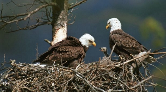 Picture of Family of Eagles