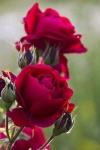 'jpg photo of Roses