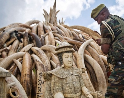 .jpg photo of poached ivory to be burned