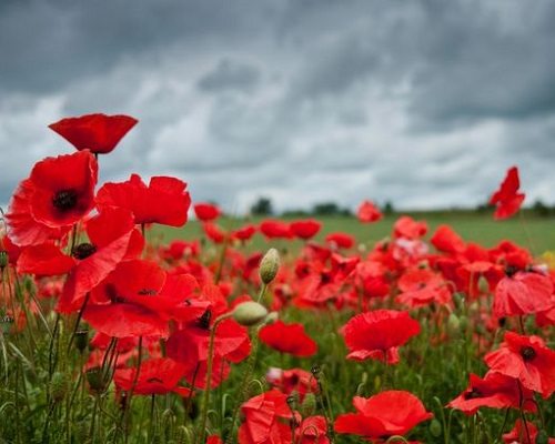.jpg photo of red poppies to honor those who died trying to protect our country